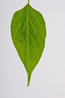 Rain Drops On A Green Leaf Stock Photo