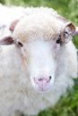 Free Portrait Of Sheep Stock Photos - 28175583
