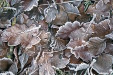 Free Frosty Autumn Leaves Royalty Free Stock Image - 28176846