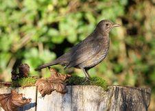 Free Blackbird Stock Photos - 28179233