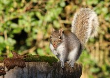 Free Grey Squirrel Stock Photography - 28179312