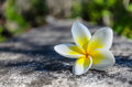 Free Plumeria Flower On Cement Road Royalty Free Stock Photo - 28187475