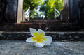 Free Plumeria Flower On Cement Staircase Stock Images - 28187564