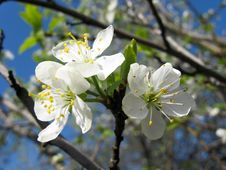 Free Blossoming Cherry Royalty Free Stock Image - 28182096