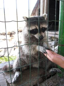 Free Raccoon With Asking Paw Behind A Bar Stock Photography - 28182242