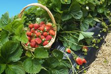 Free Strawberry Basket Field Royalty Free Stock Image - 28182876