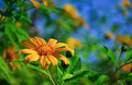 Free Mexican Sunflower Stock Image - 28190941