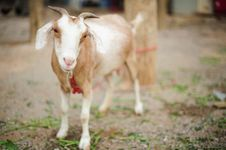 Free Little Goat Royalty Free Stock Photography - 28191057
