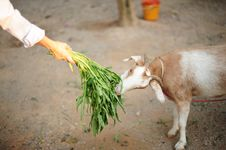 Free Little Goat Royalty Free Stock Images - 28191069