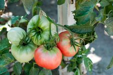 Free Tomatoes Stock Images - 28193124