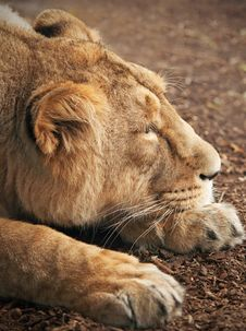 Free Lioness Royalty Free Stock Photography - 28199627