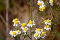 Free Daisy  Flowers Royalty Free Stock Photo - 2820505