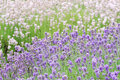 Free Two Colored Lavender Royalty Free Stock Images - 2824849