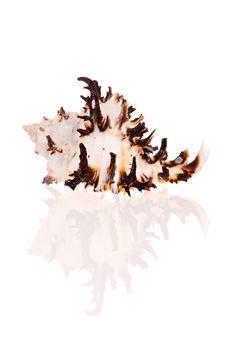 Free Murex Seashell Stock Images - 2820524