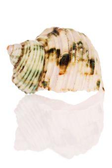 Free Turban Seashell Stock Photo - 2820660