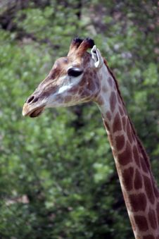 Free Giraffa Camelopardalis Stock Photo - 2820820