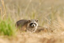 Cute Raccoon Royalty Free Stock Photo