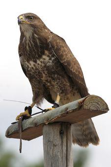 Free Eagle Royalty Free Stock Photo - 2822935