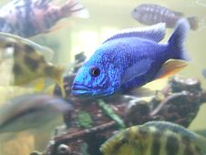 Free Electric Blue Fish Stock Image - 2824881