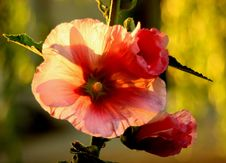 Mallow - Princess Of Flowers Royalty Free Stock Photos