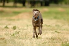 Free Pointer Dog Stock Photography - 2826282
