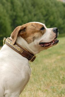 Free American Bulldog Stock Photography - 2826602