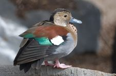 Free Color Duck Stock Photo - 2826770
