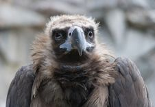 Free Griffon-vulture Stock Photos - 2826923