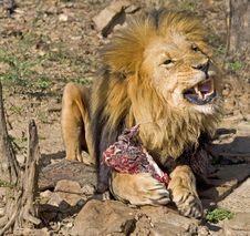 Free Lion Eating Royalty Free Stock Image - 2827956