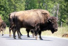 Free Bison On The Road Royalty Free Stock Photography - 2829017