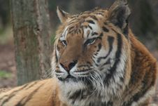 Free Sleepy Tiger Royalty Free Stock Photography - 2829507
