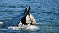 Free Cormorant Pair Stock Photography - 2829872
