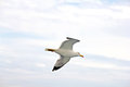 Free Sea Gull Stock Image - 28206931