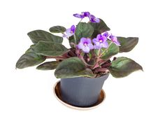 Free African Viola In The Pot Royalty Free Stock Photos - 28202048