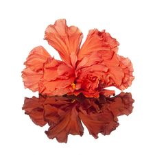 Free Hibiscus Flower Stock Images - 28207524