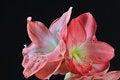 Free Blooming Amaryllis Stock Image - 28211661