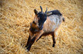 Free Baby Goat On A Yellow Straw Bedding Stock Images - 28218504