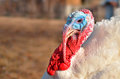 Free Turkey Close Up Royalty Free Stock Photo - 28218545