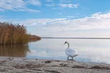 Swan On The Lake Shore Royalty Free Stock Images