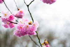 Free Cherry Blossoms In Rainy Day Stock Image - 28213011