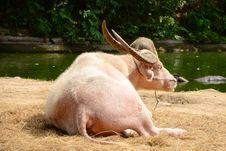 Free Albino Buffalo. Stock Images - 28217004