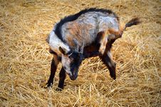 Free Baby Goat On A Yellow Straw Bedding Stock Photo - 28218510