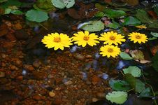 Free Yellow Daisies Floating On Water Royalty Free Stock Photo - 28218525