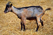 Free Baby Goat Royalty Free Stock Photo - 28218535