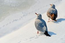 Free Seagulls In The Snow Royalty Free Stock Photography - 28218567