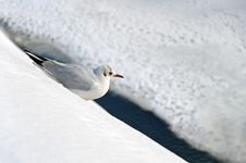 Free Seagull Resting In The Snow Stock Image - 28218601