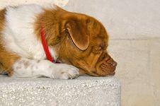 Brown Head Dog Sleeping Stock Images