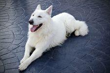 Free White Swiss Shepherd Royalty Free Stock Photos - 28218688