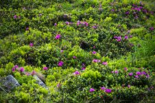 Free Rhododendrons Flowers Royalty Free Stock Photo - 28218715