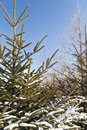 Free Fir-tree In Snow Royalty Free Stock Image - 28224296
